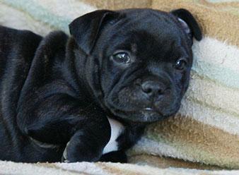Staffordshire Bull Terrier Club - Western Cape  RSABuying a